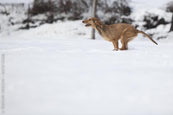 photo chien courant italien à poil ras chiot