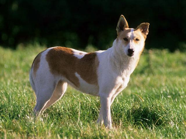 photo chien de canaan