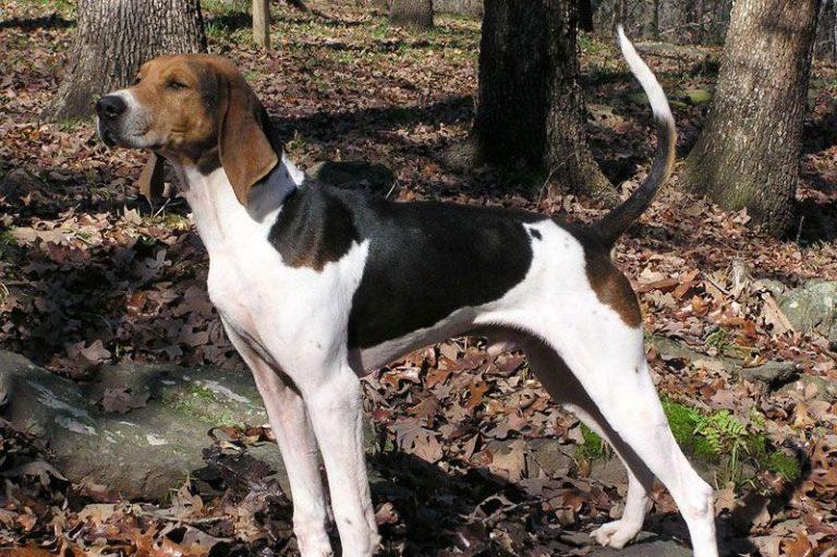 photo foxhound anglais chiot