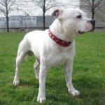 Staffordshire bull terrier blanc