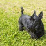 Terrier écossais chiot