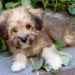 Terrier tibétain chiot