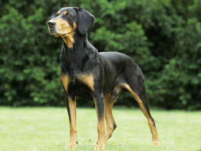 photo chien courant de transylvanie chiot
