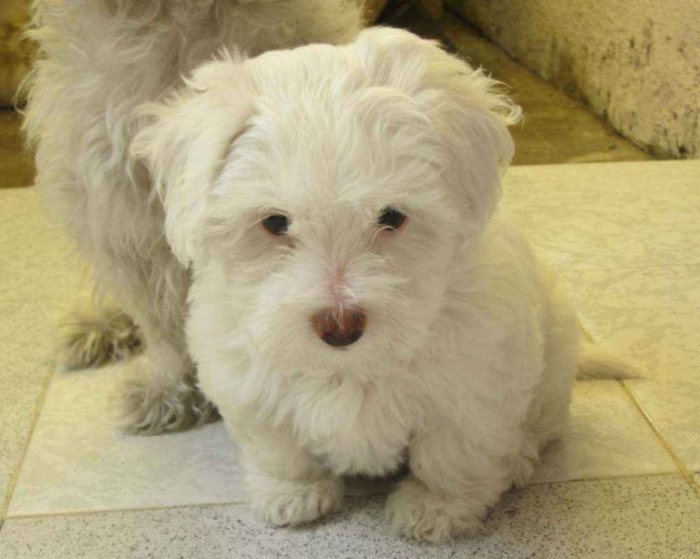 photo dandie dinmont terrier chiot