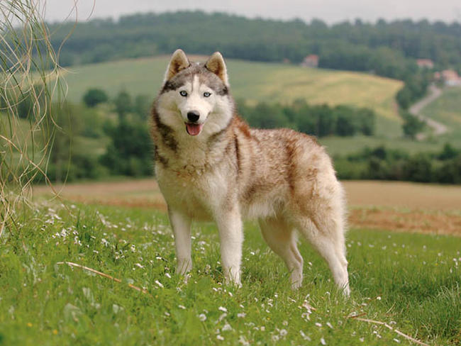 photo husky de sibérie