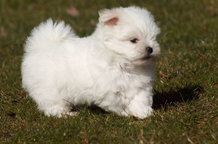 photo bichon maltais