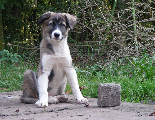 photo chien de montagne de l'atlas chiot