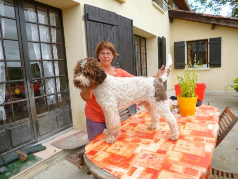 photo chien d'eau romagnol chiot