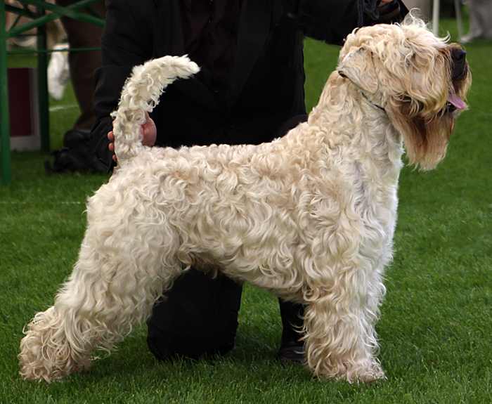 photo terrier irlandais à poil doux chiot