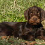 Pointer anglais marron