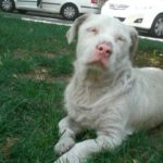 Rottweiler blanc
