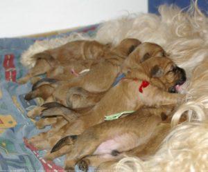 Terrier irlandais à poil doux chiot