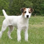 Terrier Jack Russell