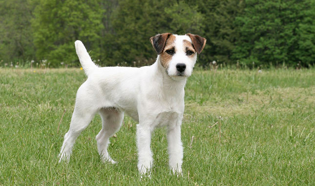 photo terrier jack russell
