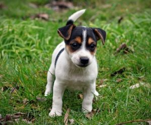 Terrier Jack Russell chiot