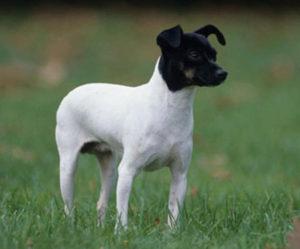 Terrier japonais