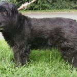 West highland white terrier noir