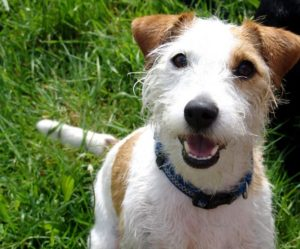 Terrier Jack Russell
